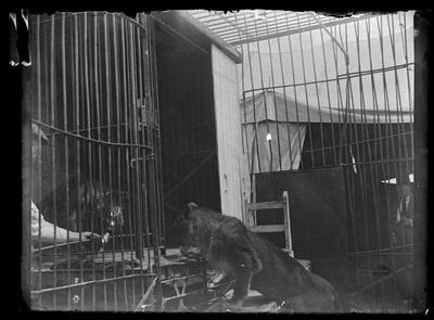 Dos leones en una jaula del circo