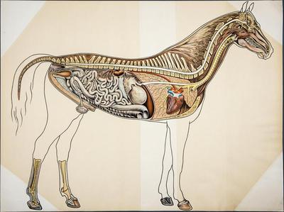 Hästen (anatomi)