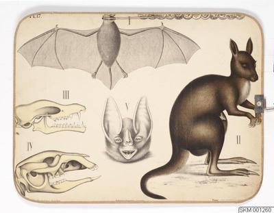 plansch, skolplansch, Fladdermus och känguru
