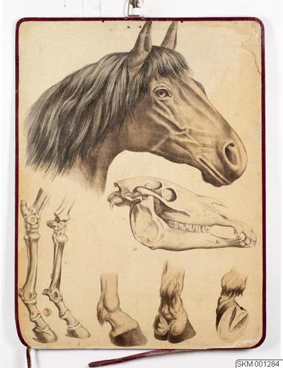 plansch, skolplansch, Häst (hästhuvud, kranium, ben och hovar)