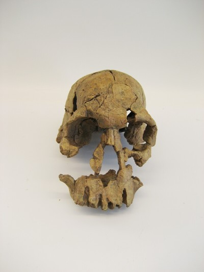 Een kunststof afgietsel van een schedel van een volwassen exemplaar van Homo habilis Leakey et al, 1964 (Homo rudolfensis (Leakey et al, 1964)/Handige mens).