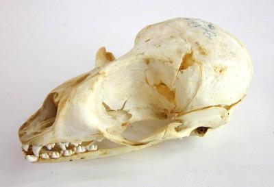 Een schedel van een exemplaar van Pusa sibirica (Gmelin, 1788) (Baikalrob).