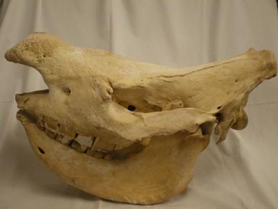 Schedel van een exemplaar van Ceratotherium simum (Burchell, 1817) (Witte neushoorn/Breedlipneushoorn).