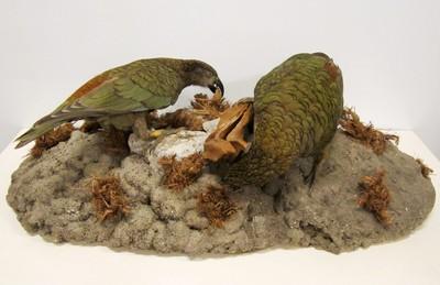 Een opgezet volwassen paar van Nestor notabilis Gould, 1856 (Kea) staand op een imitatie rots met kleine bruine plantenpollen.