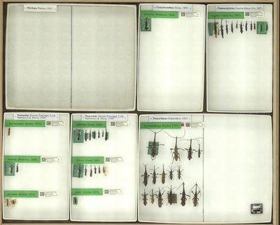 Neacratus brevicostatus (Kleine, 1922)