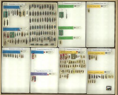 Stereosomus decollatus (Chevrolat, 1839)