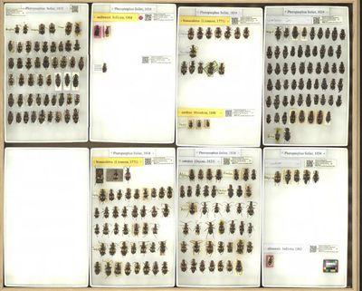 Pheropsophus indet. ,