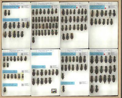 Megacephala laevicollis nideki