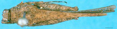 Loxilobus angulatus (Hancock, 1908)