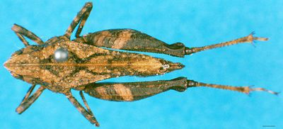 Phloeonotus humilis (Gerstaecker, 1869)