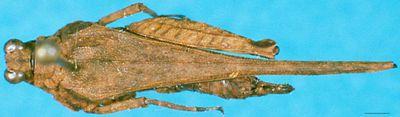 Pseudoparatettix palpatus (Bei-Bienko, 1935)