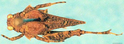 Thoradonta nodulosa (Stål, 1861)