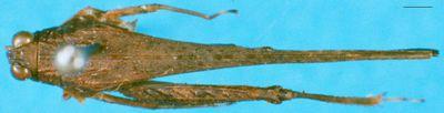 Loxilobus desiderius Günther, 1938