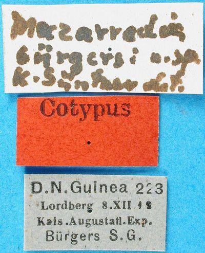 Melainotettix burgersi (Günther, 1938)