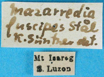 Metamazarredia fuscipes (Stål, 1877)