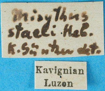 Misythus staeli Hebard, 1923
