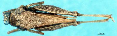 Afrocriotettix durus durus (Karsch, 1893)