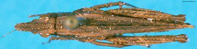 Pseudomitraria conradti Günther, 1939