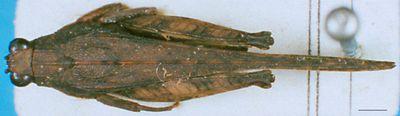 Pseudoparatettix mindoroensis Günther, 1939
