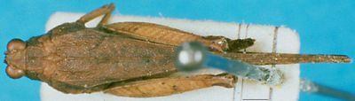 Pseudoparatettix platynotus (Bei-Bienko, 1935)