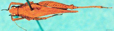 Spadotettix hainanensis Günther, 1939