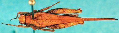 Spadotettix heinrichi Günther, 1937