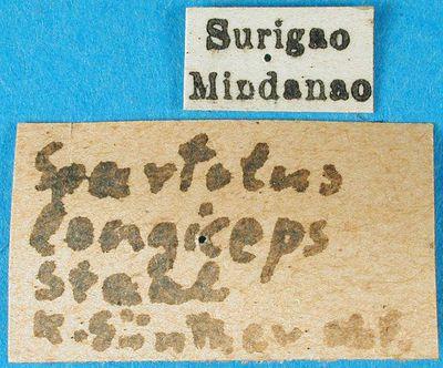 Spartolus minax Walker, 1871