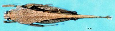 Leptacrydium gratiosum (Karsch, 1893)