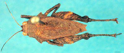 Tondanotettix modestus Günther, 1937