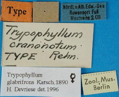 Trypophyllum cranonotum = Rehn, 1914