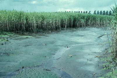 Zuid-Holland/Noord-Brabant: Biesbosch. Gesloten rietvegetatie met kreek.