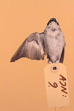 svartvit flugsnappare, fågel