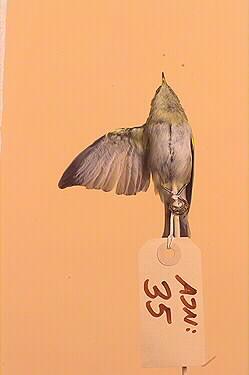 lövsångare, fågel