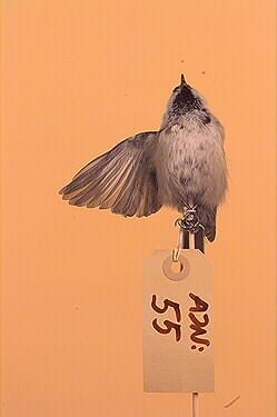 fågel, talltita