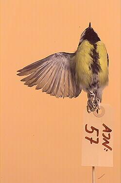 talgoxe, fågel