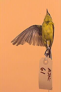 gulärla, fågel