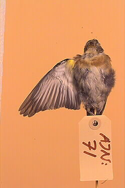 fågel, bergfink