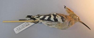härfågel, fågel