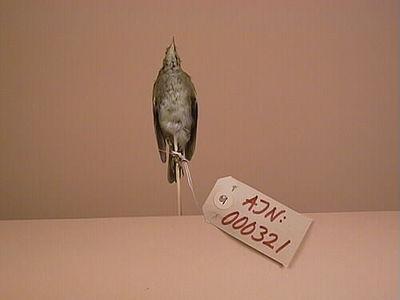 fågel, lövsångare