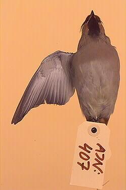 sidensvans, fågel