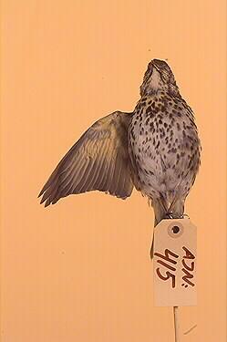 fågel, taltrast