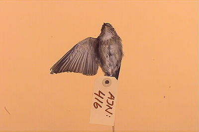 fågel, grå flugsnappare