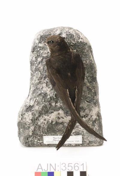 tornseglare, fågel