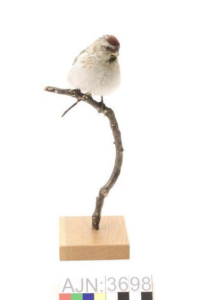 snösiska, fågel