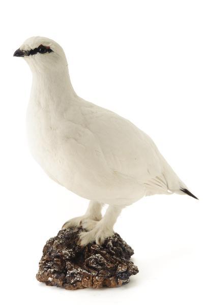 fågel, fjällripa
