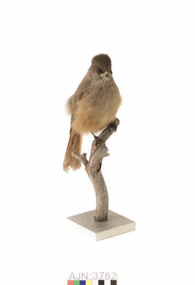 lavskrika, fågel