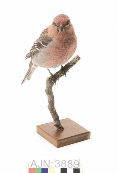 tallbit, fågel