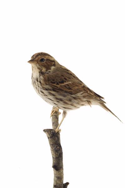 fågel, dvärgsparv
