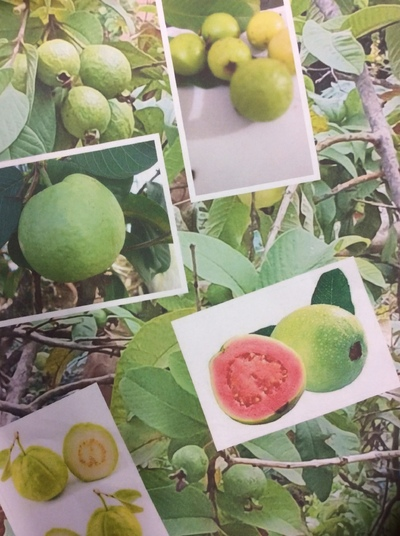 Guavas from home