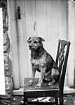 [Welsh terrier (Davies)]